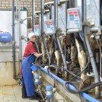 коровы доильный зал